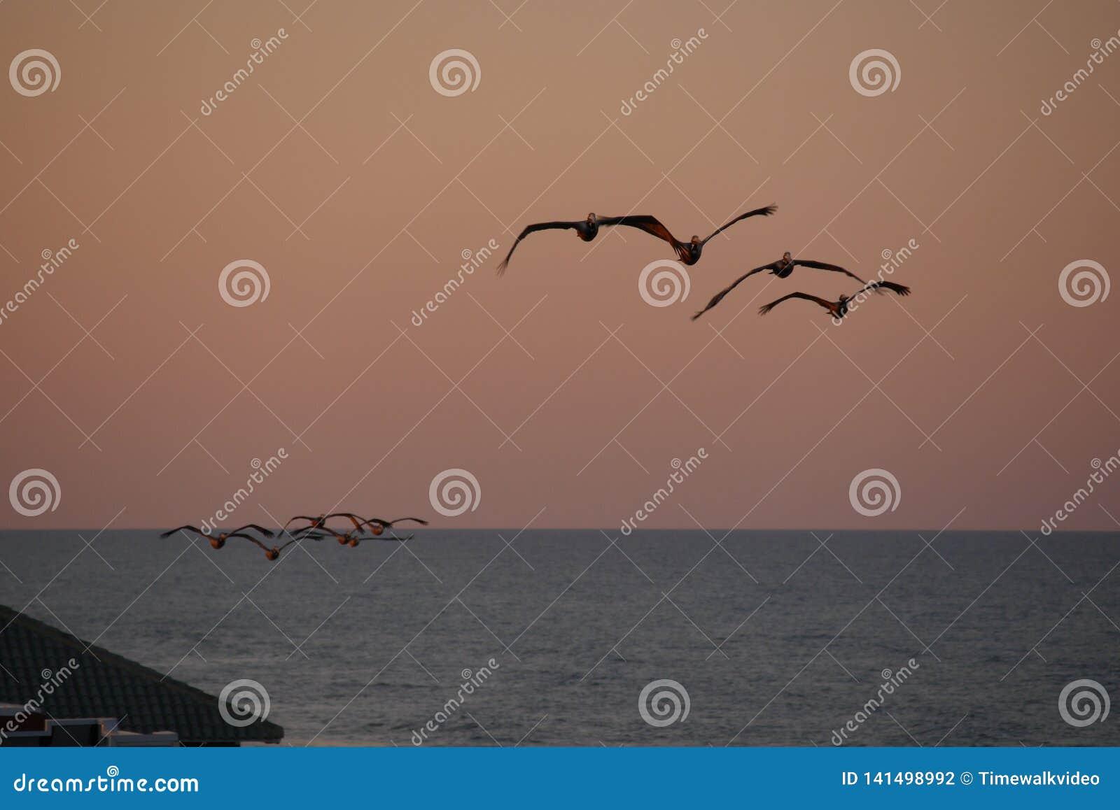 Пеликаны летают надземное в заходе солнца на этот курорт Флориды