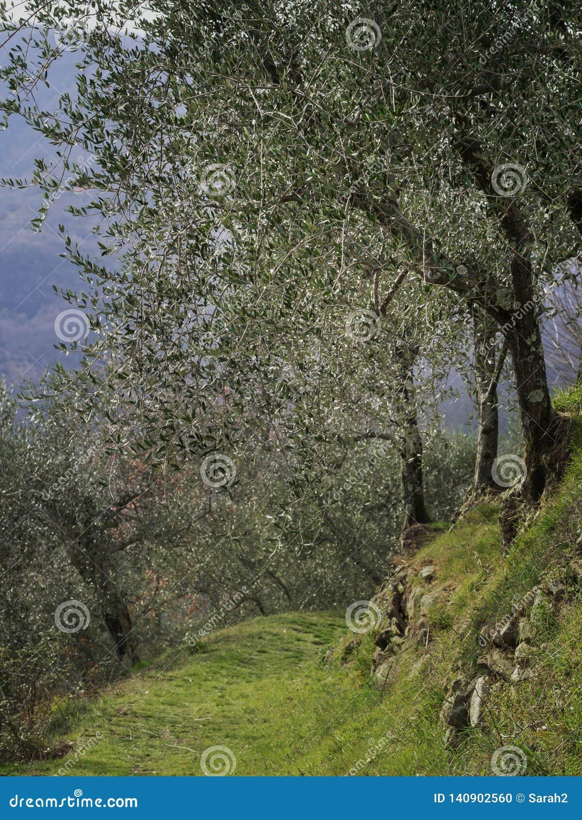 Пешая тропа, оливковая роща thorugh пути, Lunigiana, северная Тоскана, Италия Красивая мирная сельская местность, вертикальная