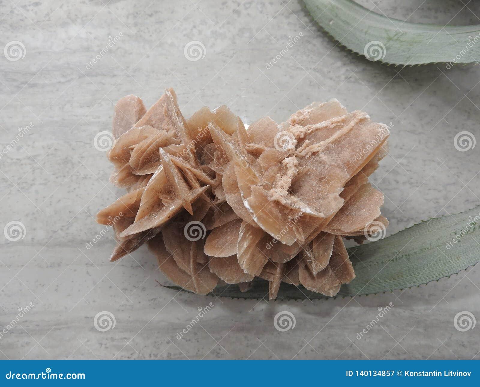 Пустыня Роза на серой предпосылке и зеленых листьях цветка
