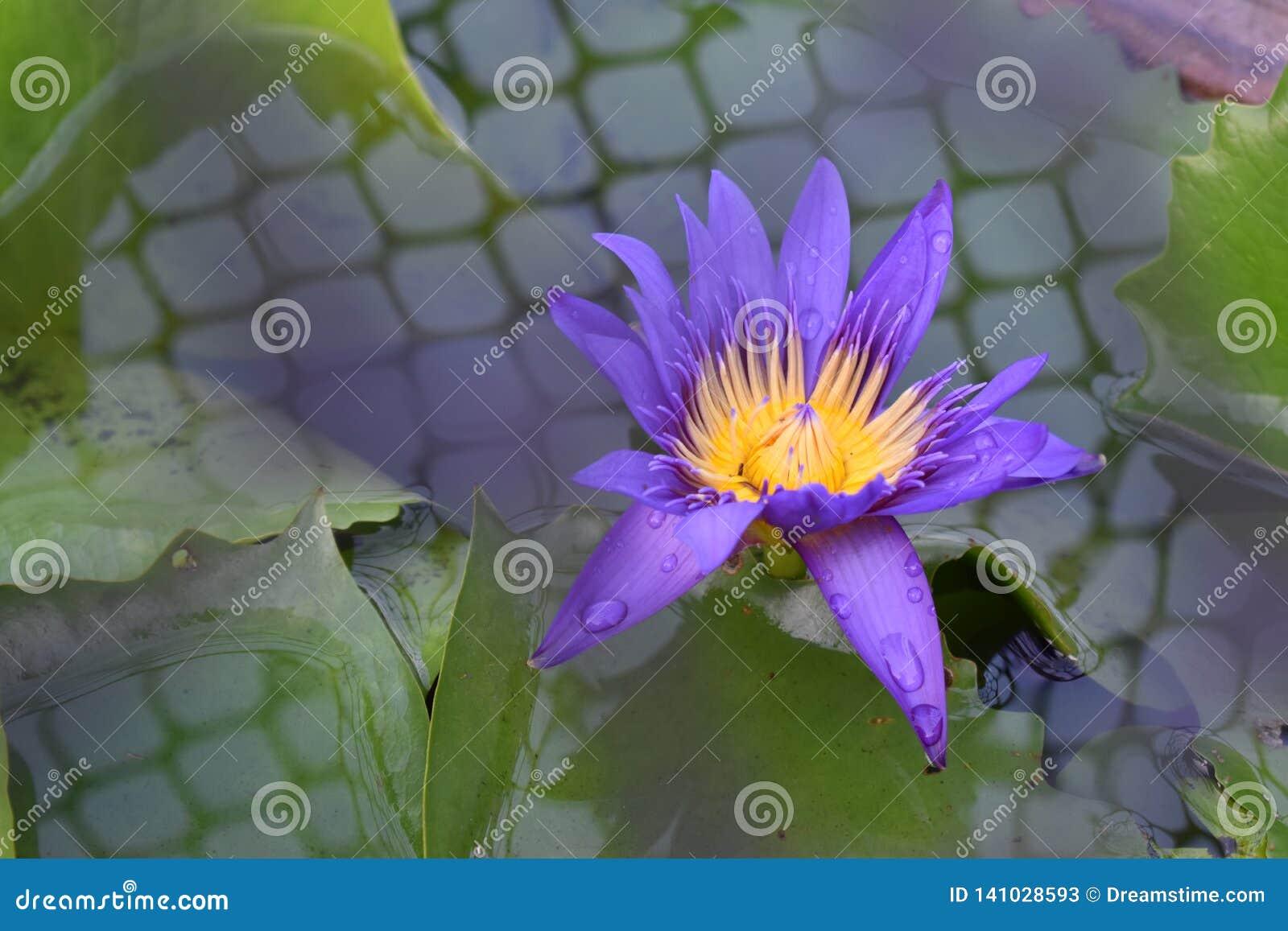 Пурпуровая лилия воды в пруде