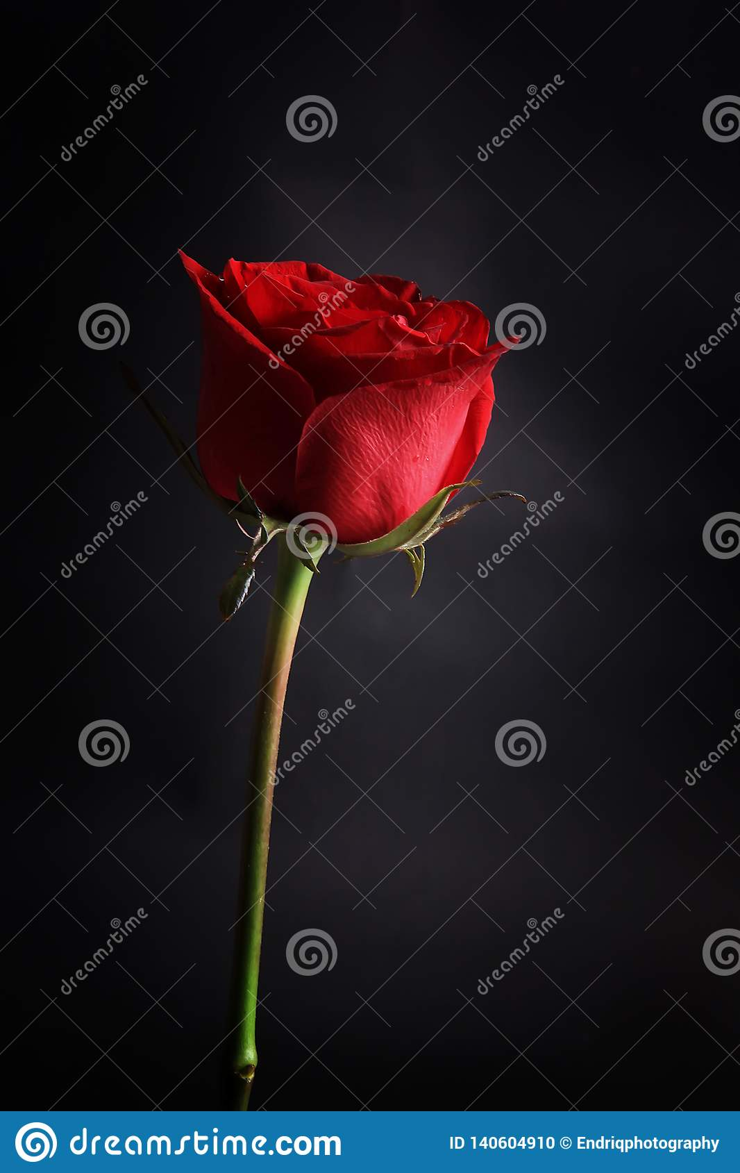 Предпосылка изолированная красной розой черная