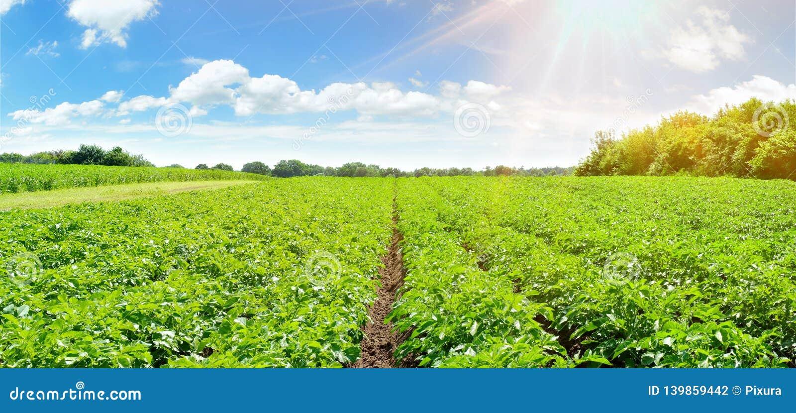 Поле картошки - панорама