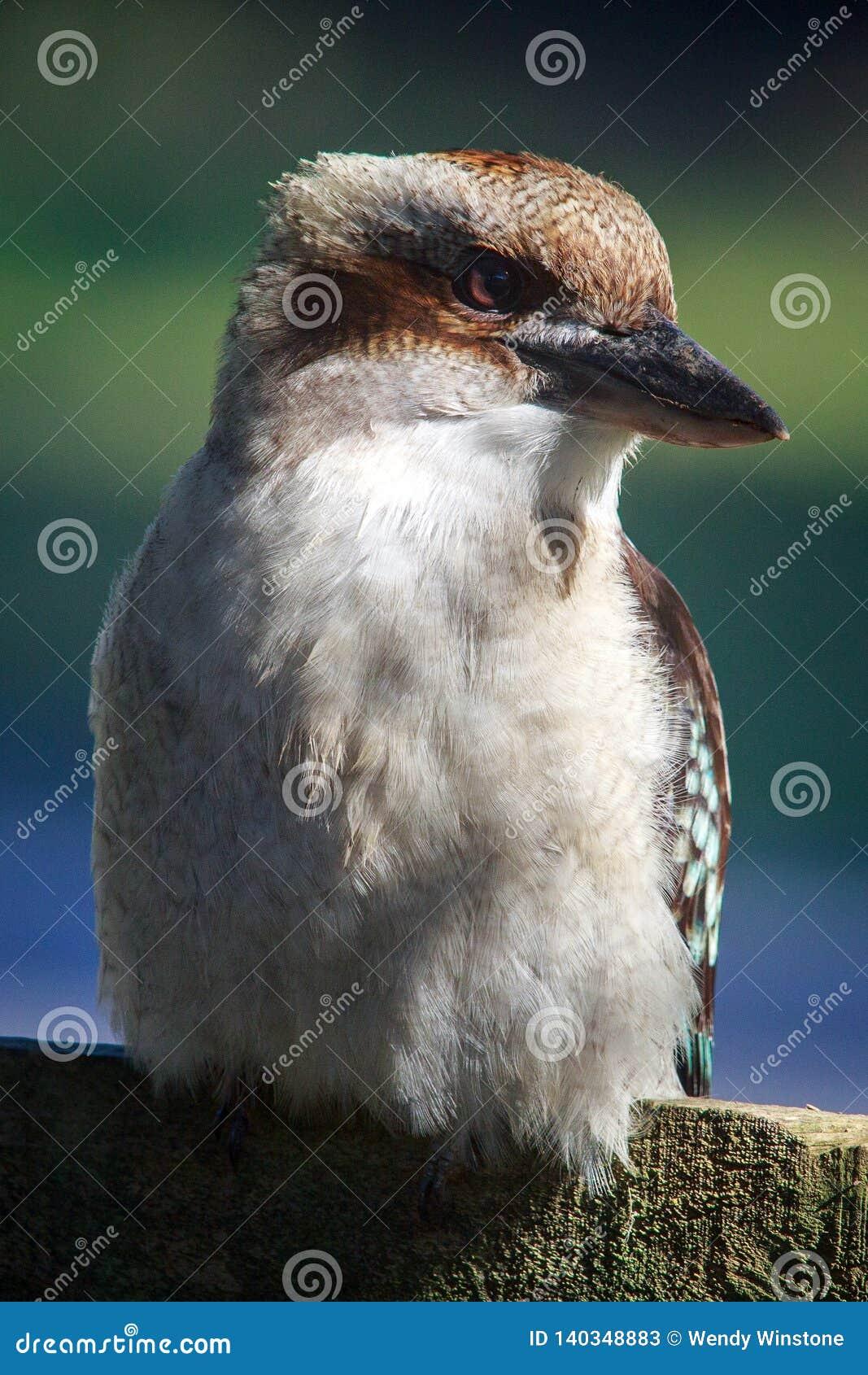 Портрет Kookaburra