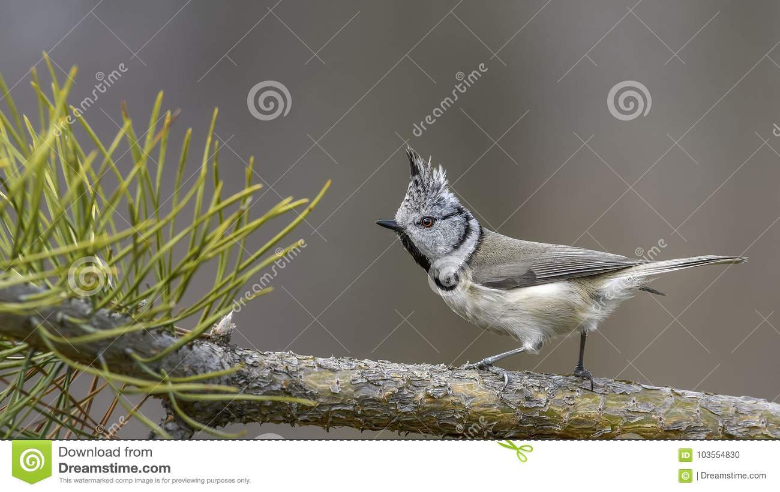 Ð ¡ στηρίχτηκε tit, πουλί, πουλί με το λόφο, πουλί στη φύση