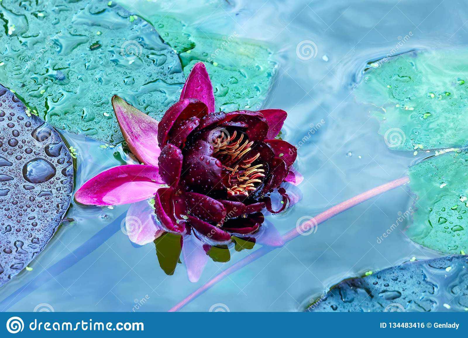 Ð ¡ laret与水下落的荷花在瓣在池塘