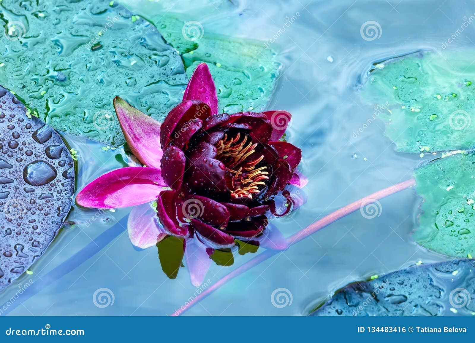 Ð-¡ laret Seerose mit Wassertropfen auf Blumenblättern eines Teichs