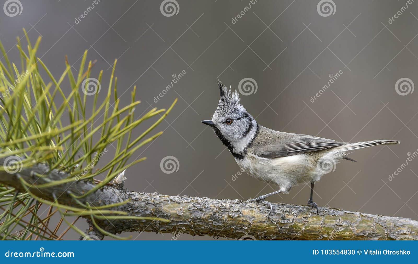 Ð-¡ stand Meise, Vogel, Vogel mit Kamm, Vogel in der Natur still