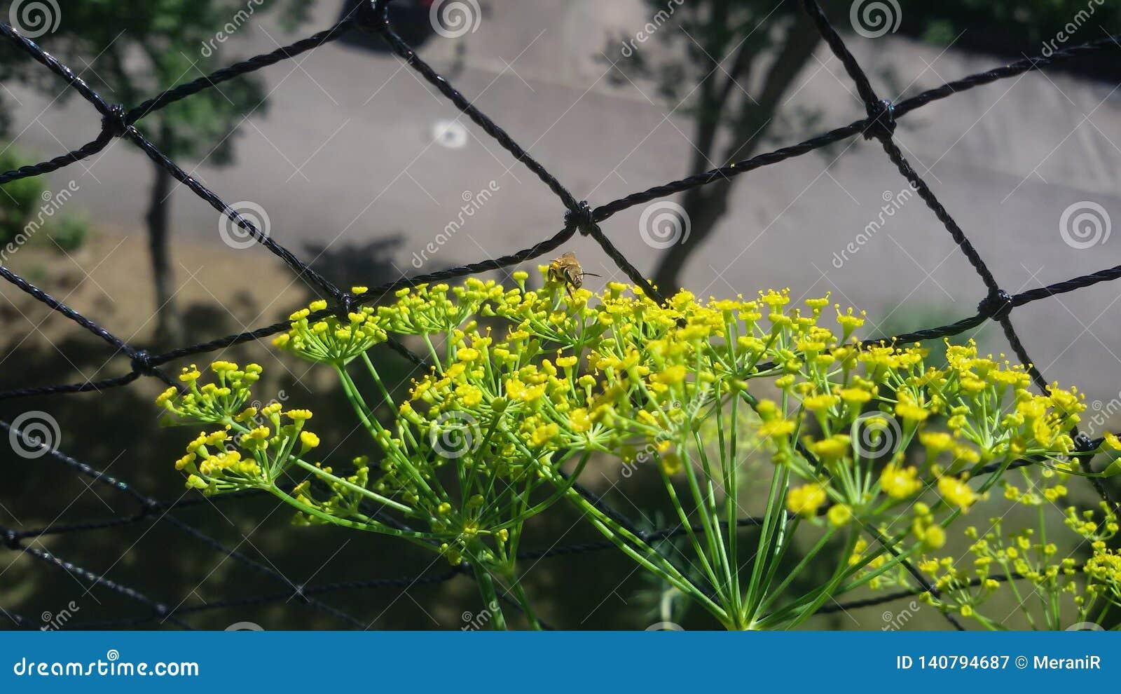 2 Дикая пчела от фронта, получает нектар, на цветке укропа