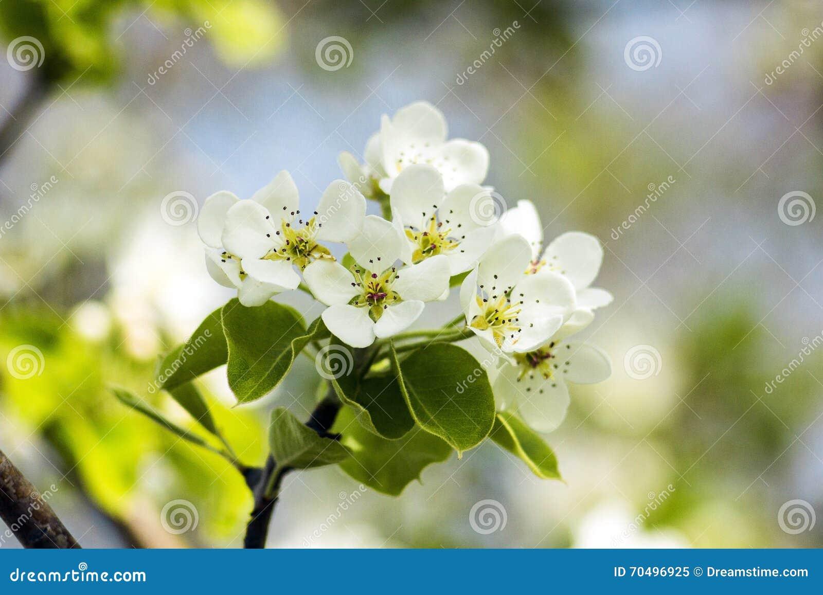 Ð-¡ herry Blumen