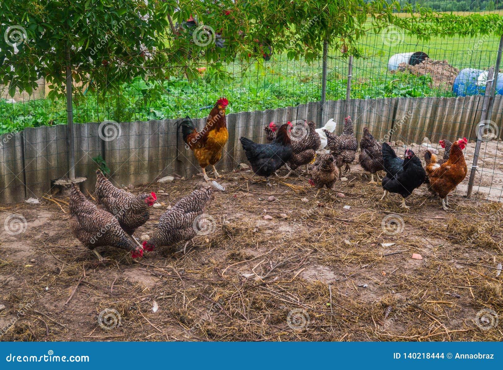 Домодельные цыплята в реальном маштабе времени на задворк в деревне