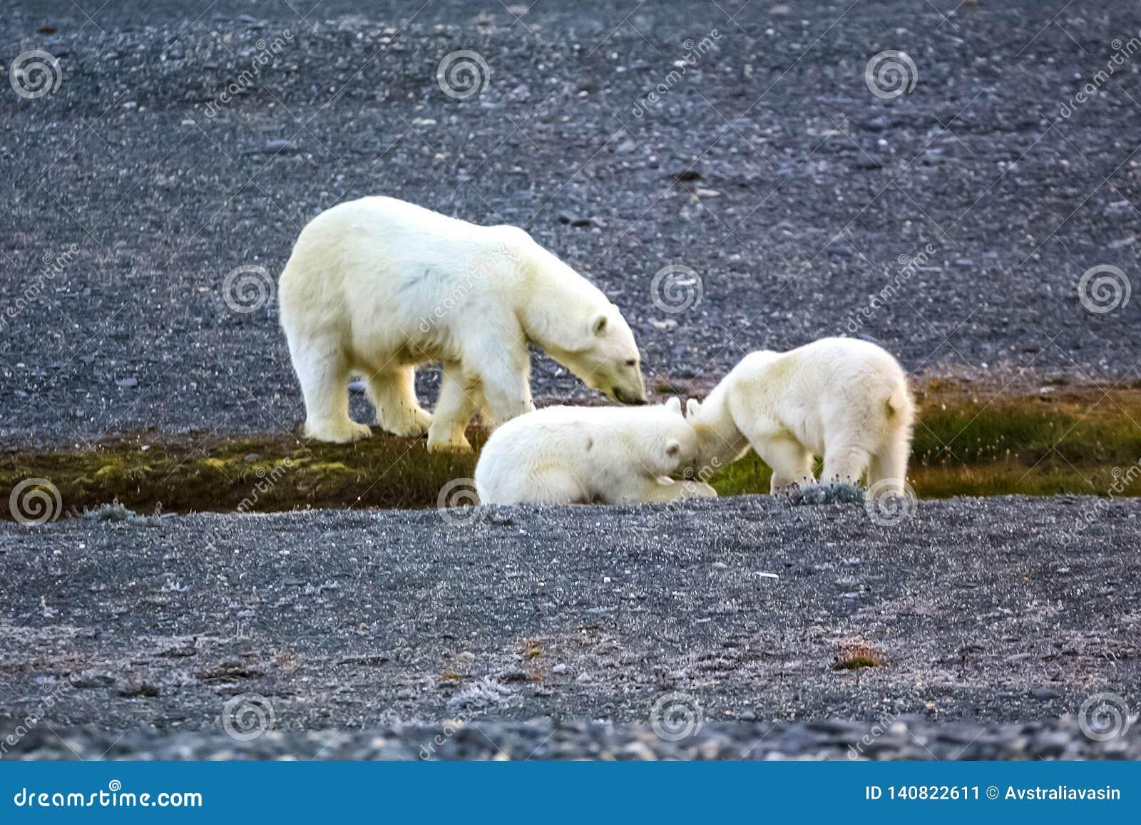 Семья полярных медведей на острове Wrangel