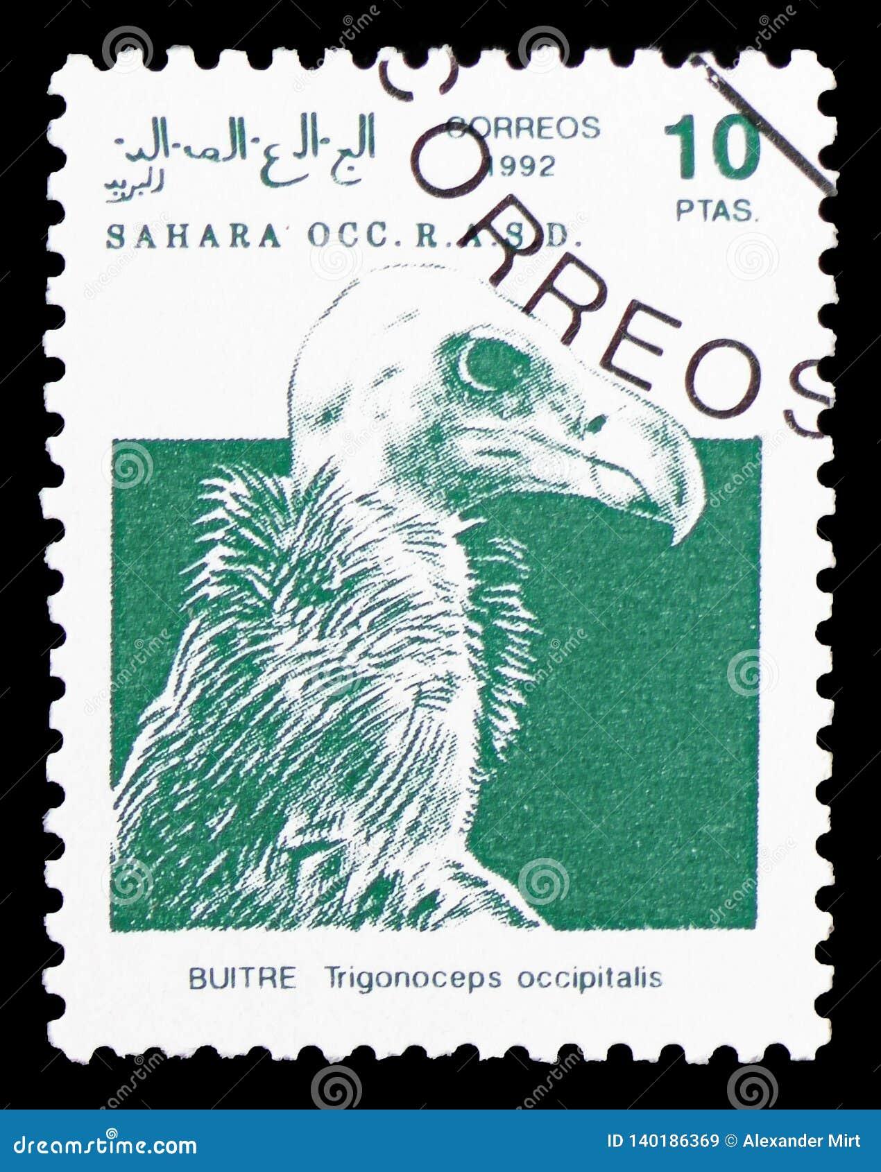 Седоволасый хищник (occipitalis), Сахара Occ Trigonoceps serie, около 1992