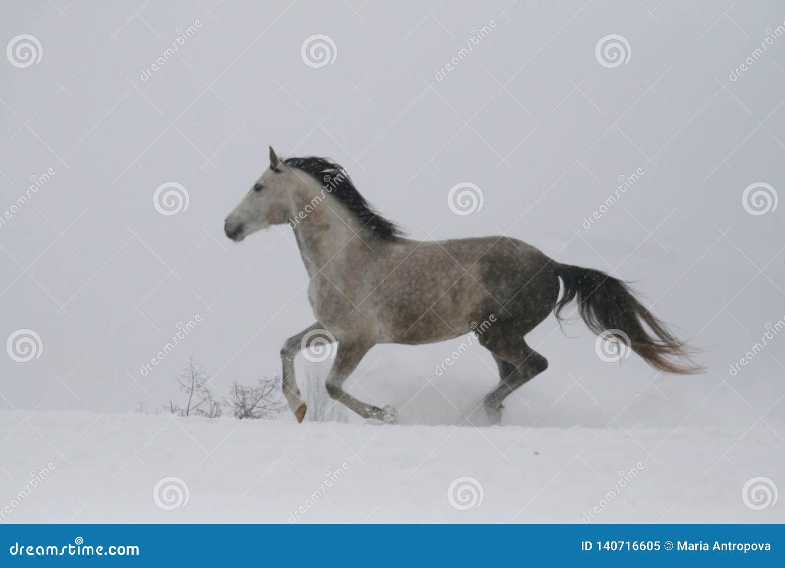 Серый жеребец скача галопом на наклоне в снег Лошадь скачет галопом в глубоком снеге Снег летает от копыт