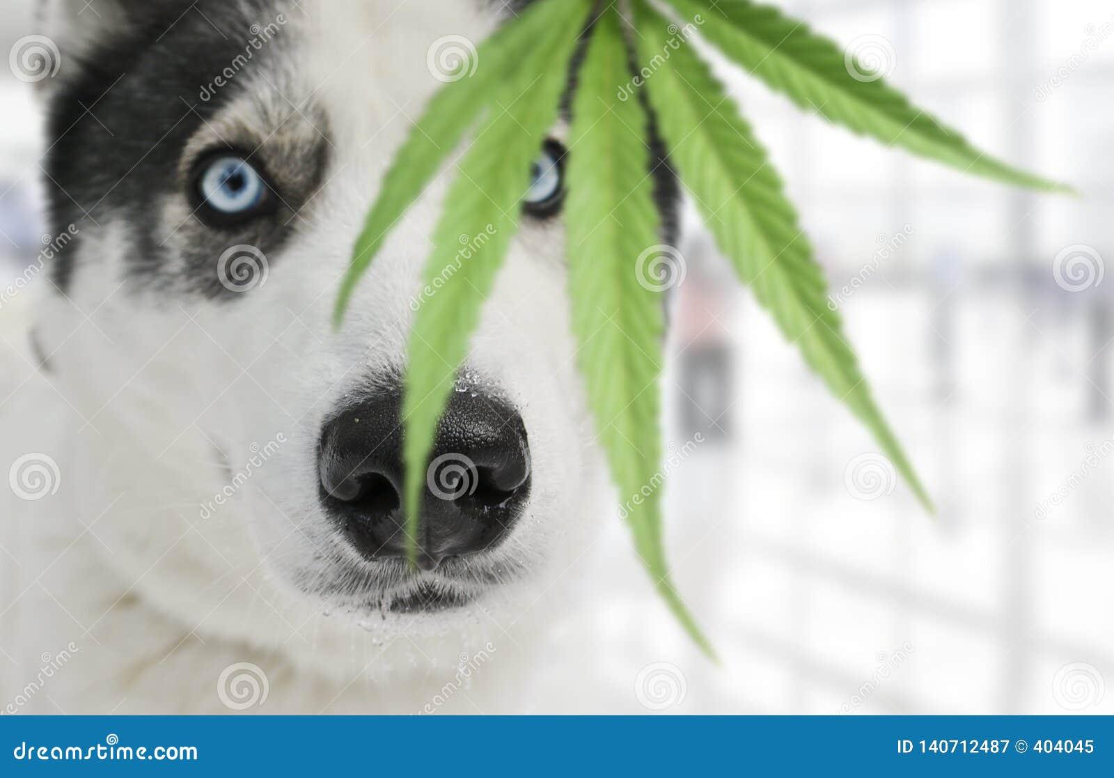 Сиплая собака обнюхивая лист марихуаны Натренированная собака ища лекарства