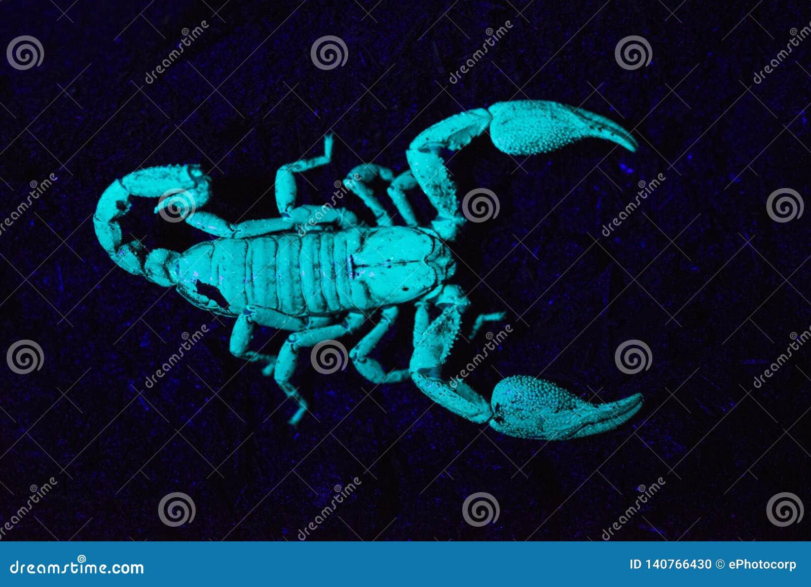 Скорпион под ультрафиолетовым светом, Scorpiones, Matheran, махарастрой, Индией