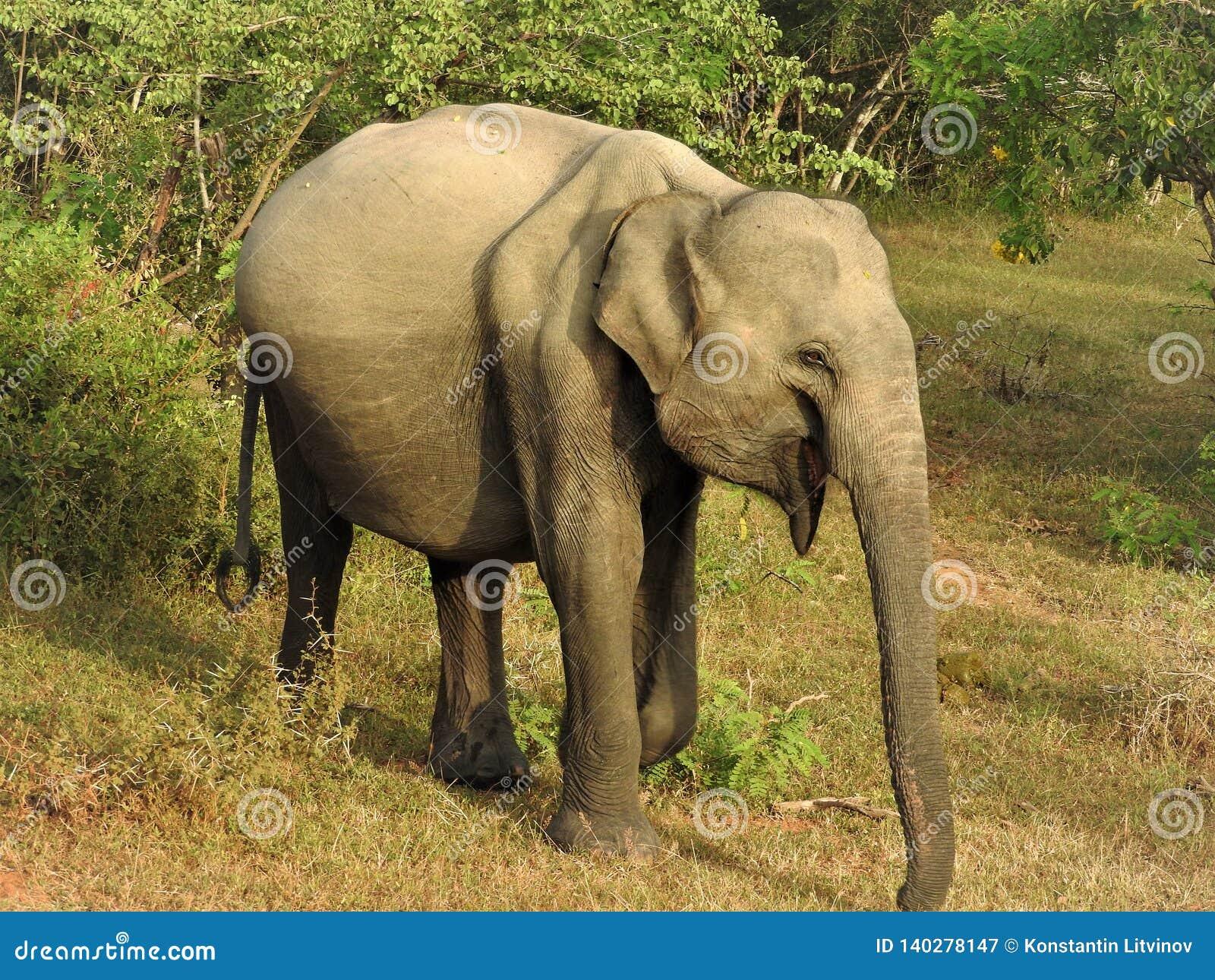 Слон младенца идет в зеленые джунгли на ясный солнечный день в национальном парке Yala в Шри-Ланка