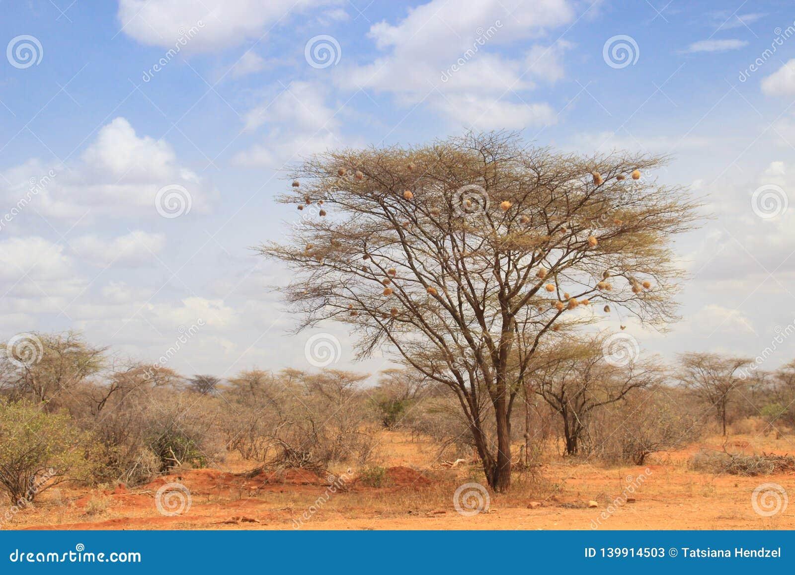Сухое дерево акации в африканской саванне с много небольших гнезд птицы