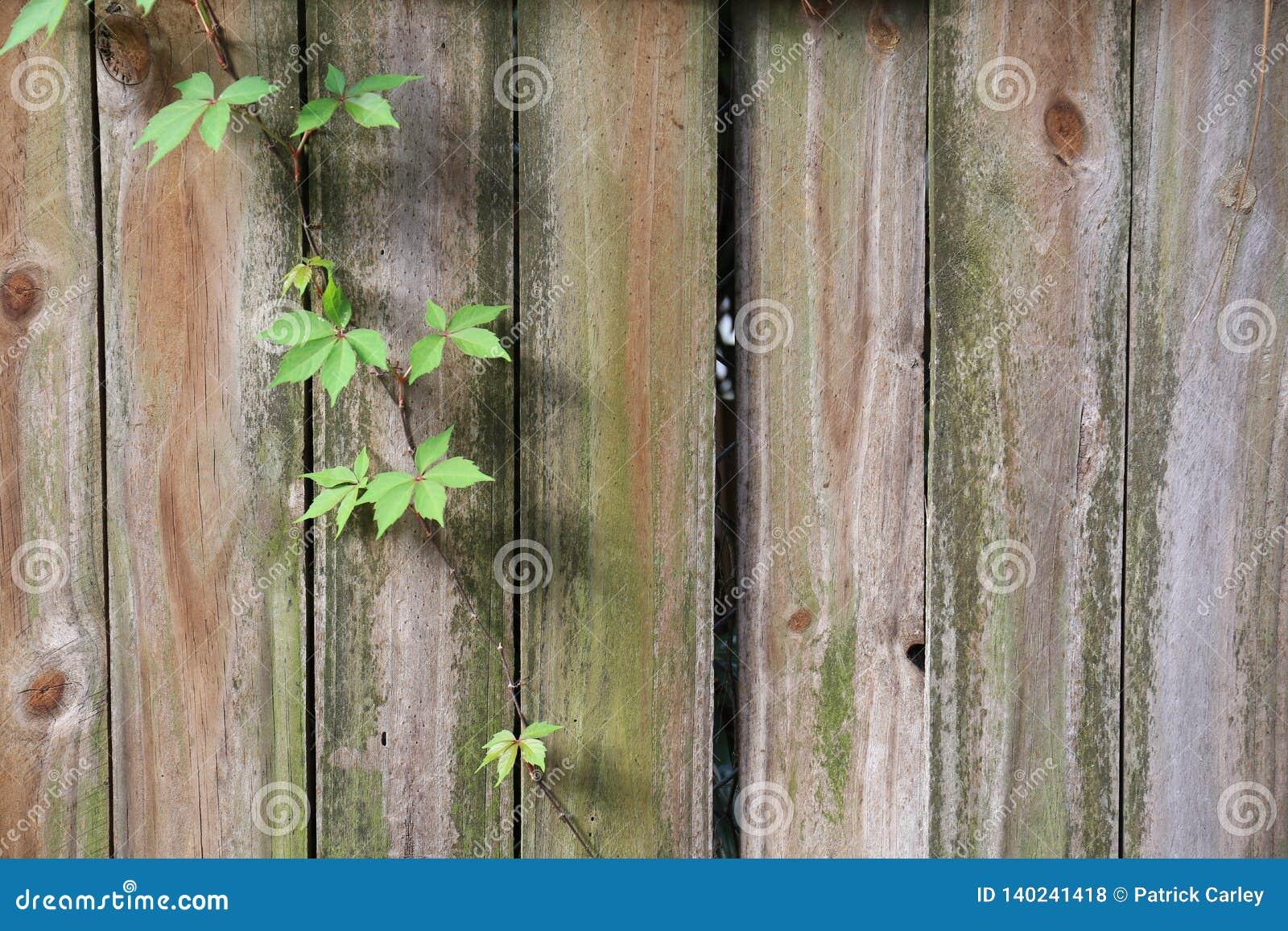Старая загородка с лозой растя вниз с ее
