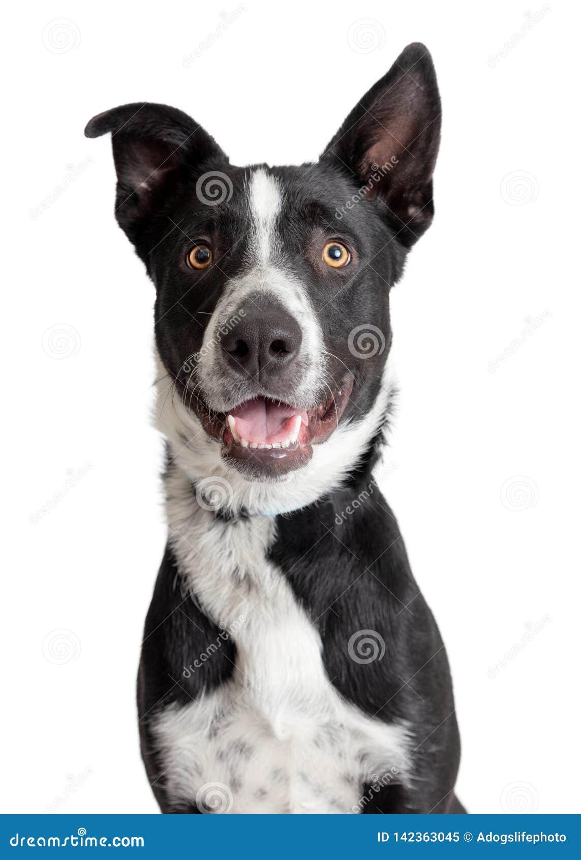 Счастливый усмехаясь крупный план собаки Crossbreed Коллиы границы