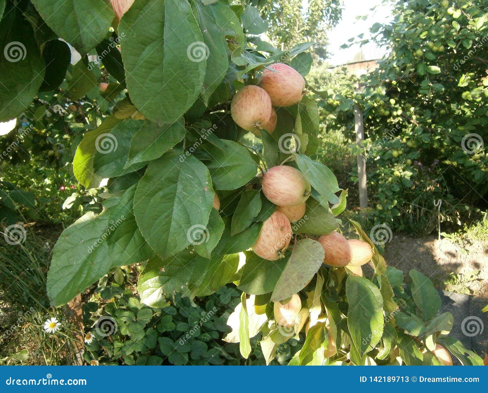 Яблоки на яблоне