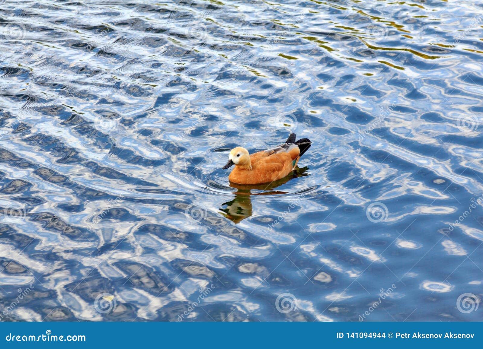 Утка плавает через голубые волны реки