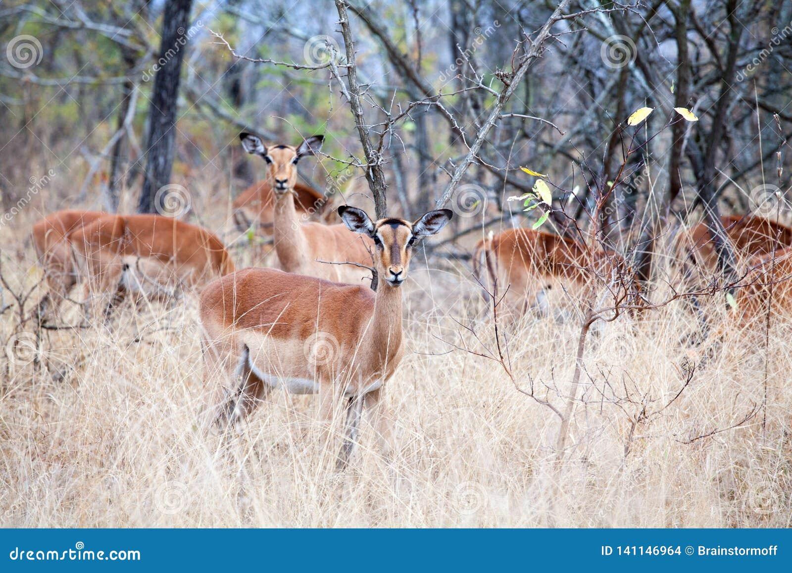 Табун женских антилоп импалы на траве, деревьях и конце предпосылки голубого неба вверх в национальном парке Kruger, сафари в Южн