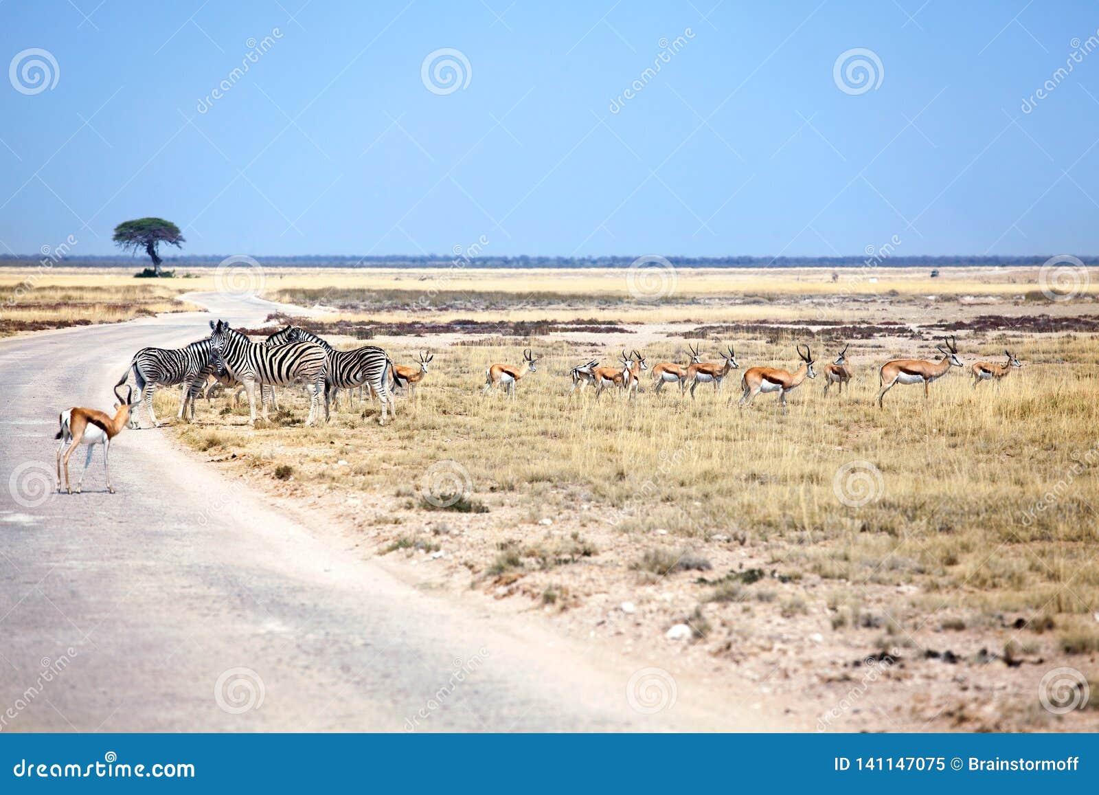 Табун зебр диких животных и антилоп импалы в поле на дороге на сафари в национальном парке Etosha, Намибии, Южной Африке