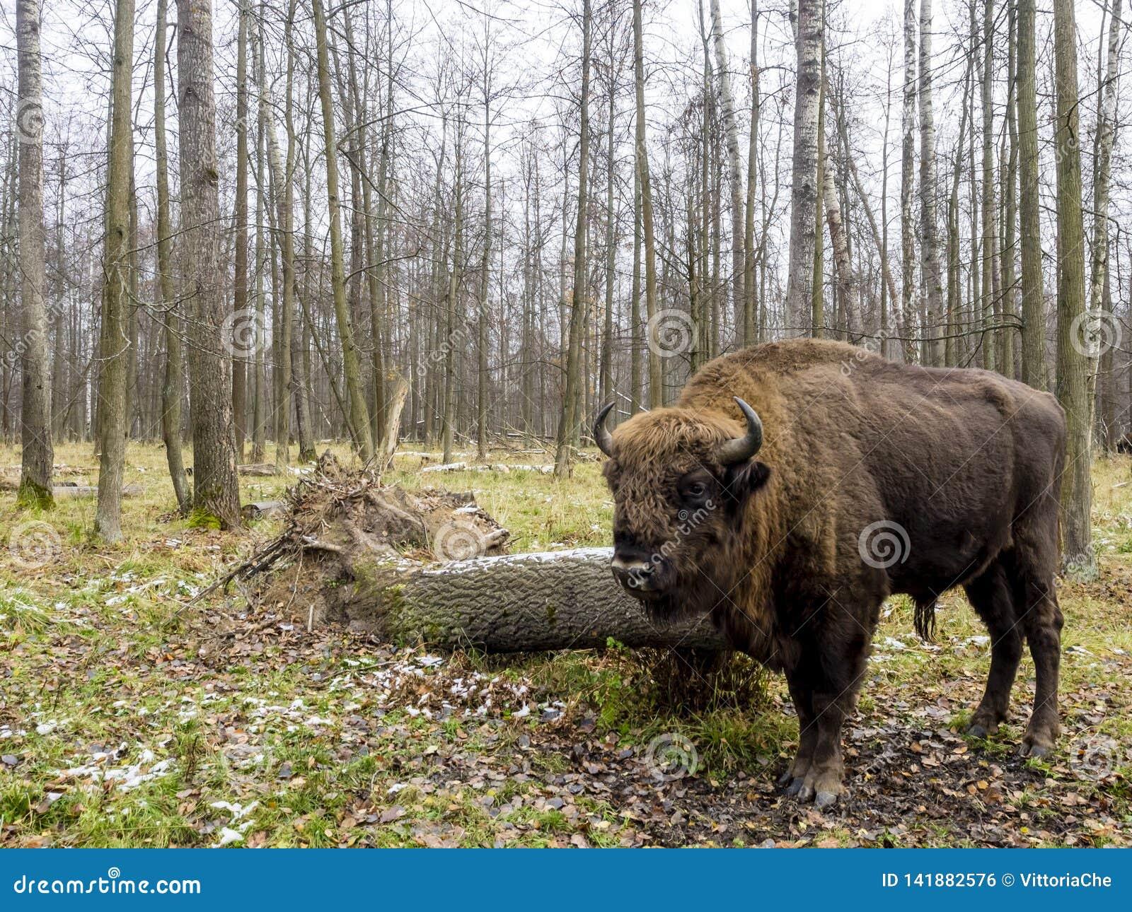 Тур, большое животное в лесе европейское bonasus бизона бизона, также известное как зубр или европейский деревянный бизон, Россия