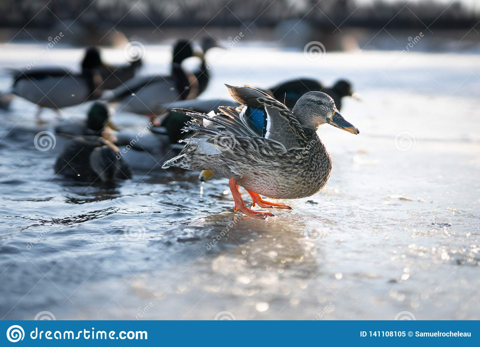 Трясти утки великолепной кряквы женский воды от своих пер на льде в красивом свете захода солнца зимы