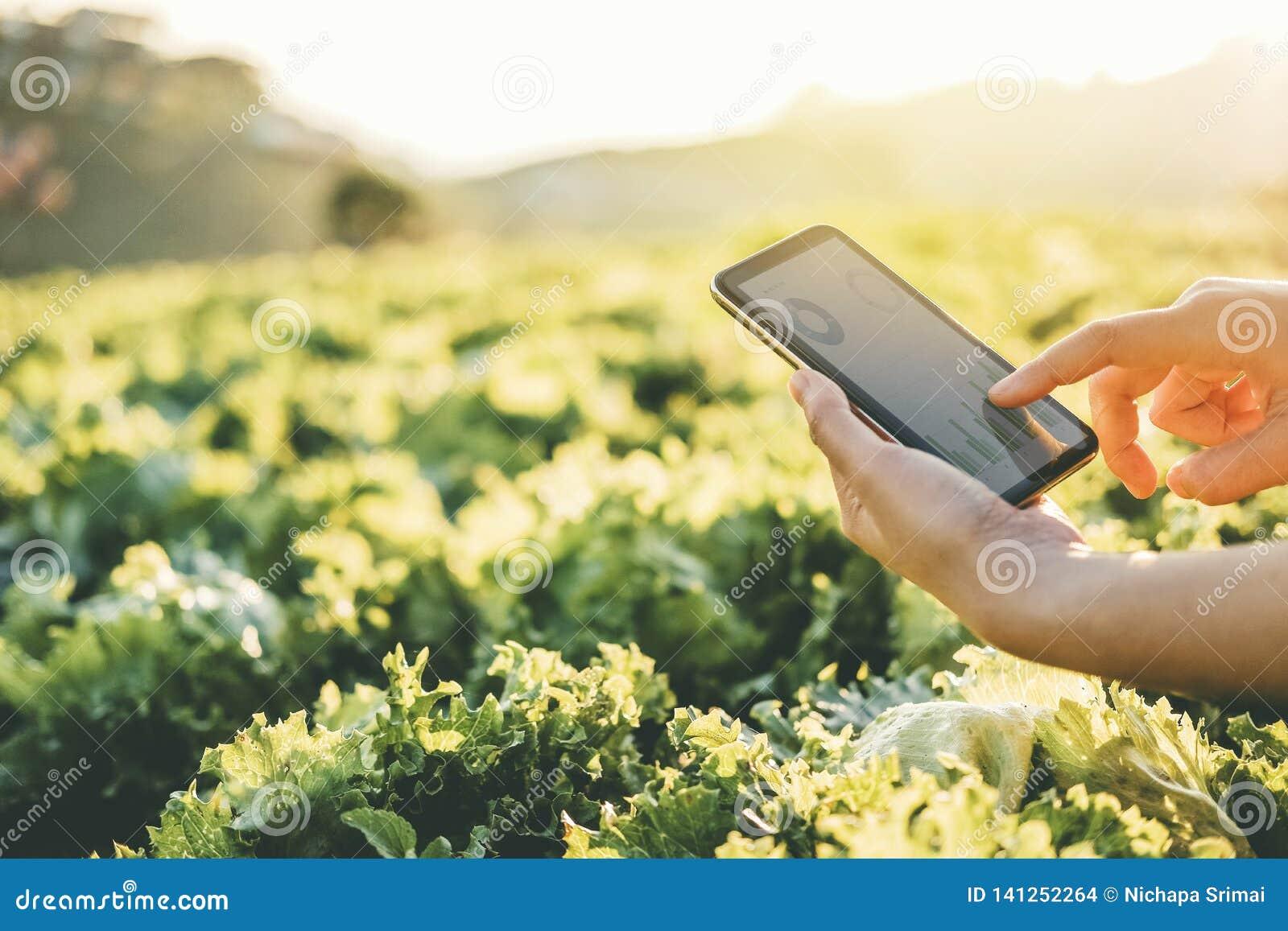 Фермер земледелия проверяя сенсорную панель в капусте Fram Nappa летом
