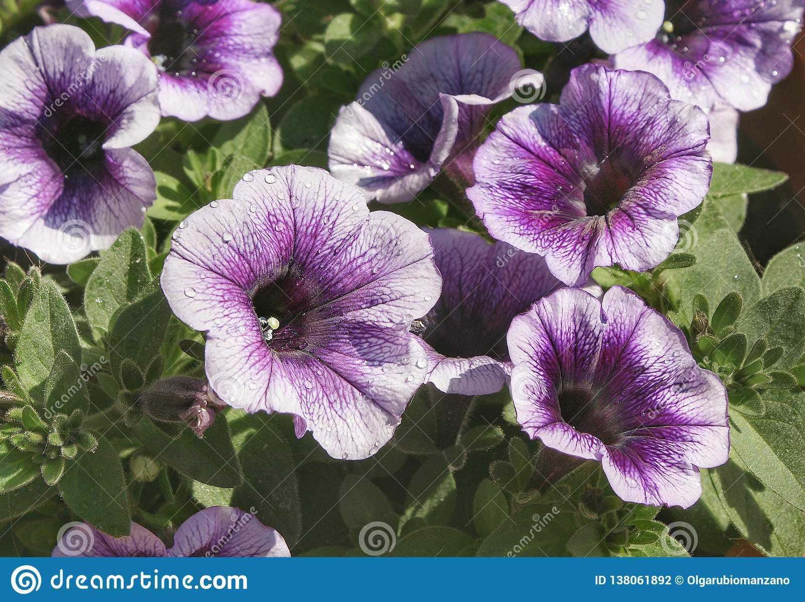 цветет пурпур