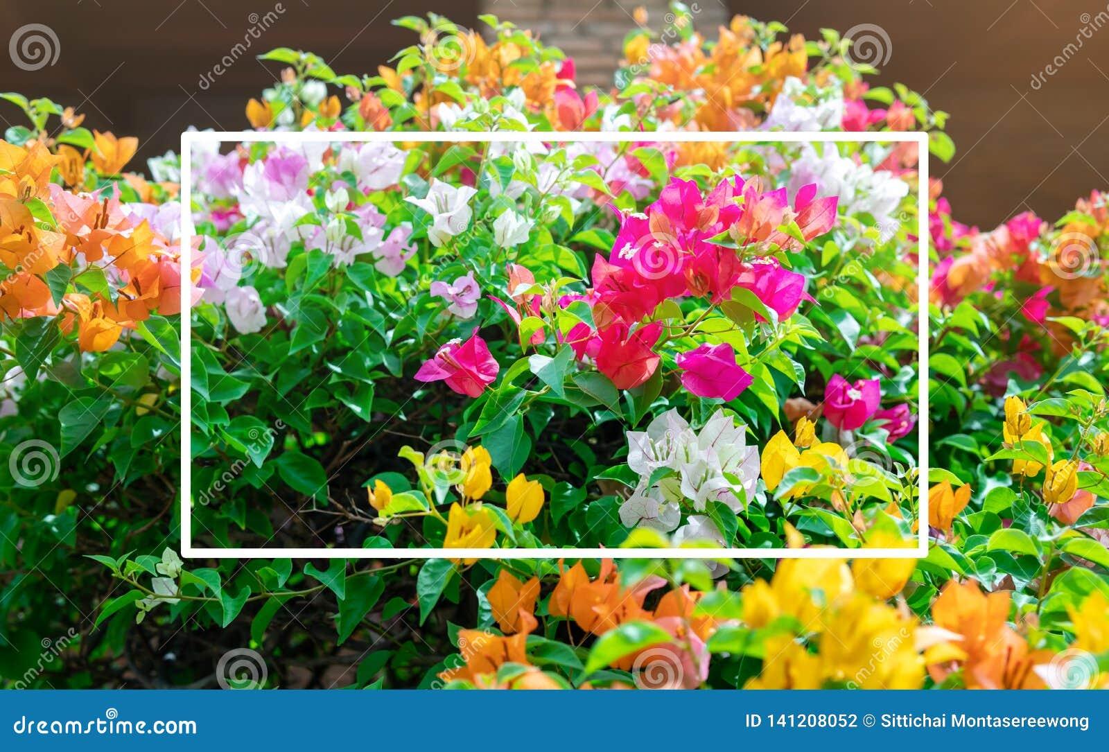 Цветки бугинвилии зацветающ и красочны и красивы