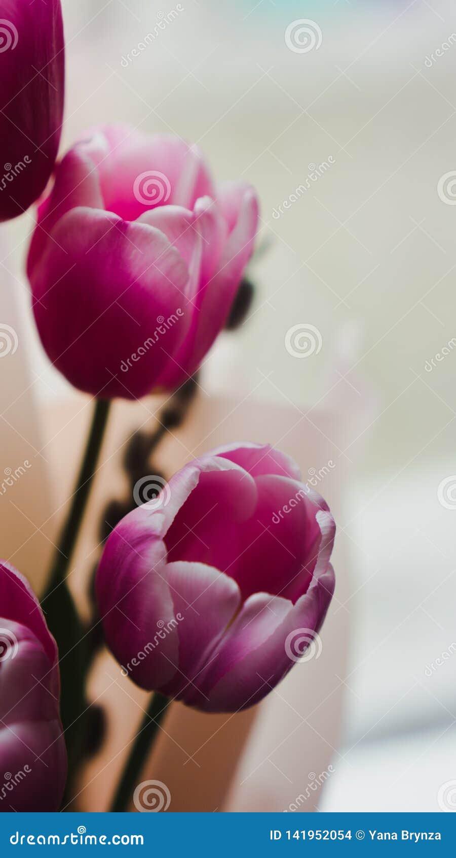Цветки весны - букет розовых тюльпанов загоренных с мягким светом