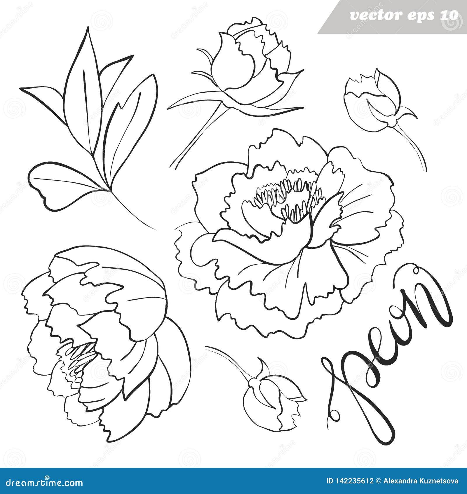 Цветки пиона, бутоны, вектор листьев конспектировали набор