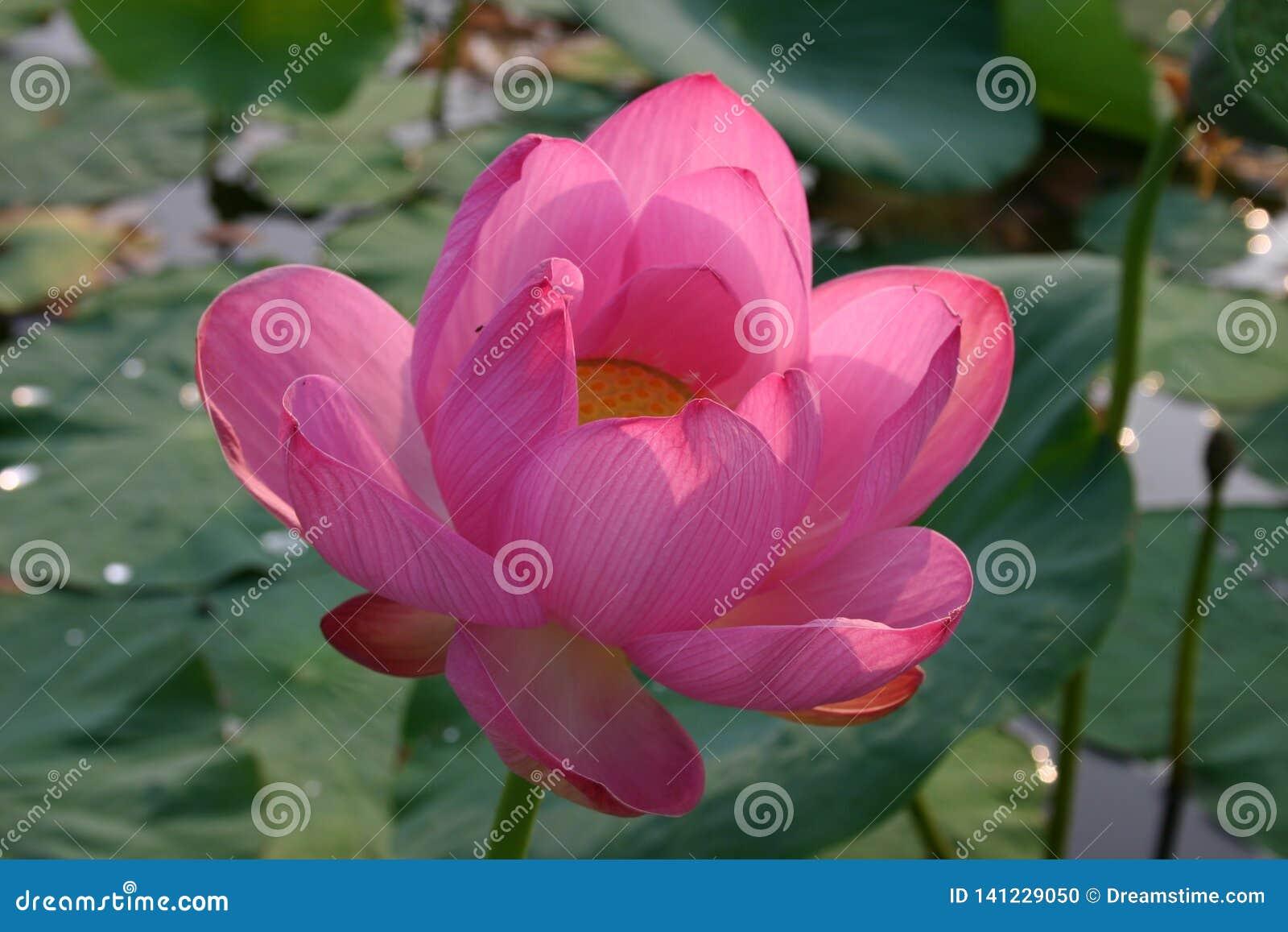 Цветя индийское nucifera Nelumbo лотоса
