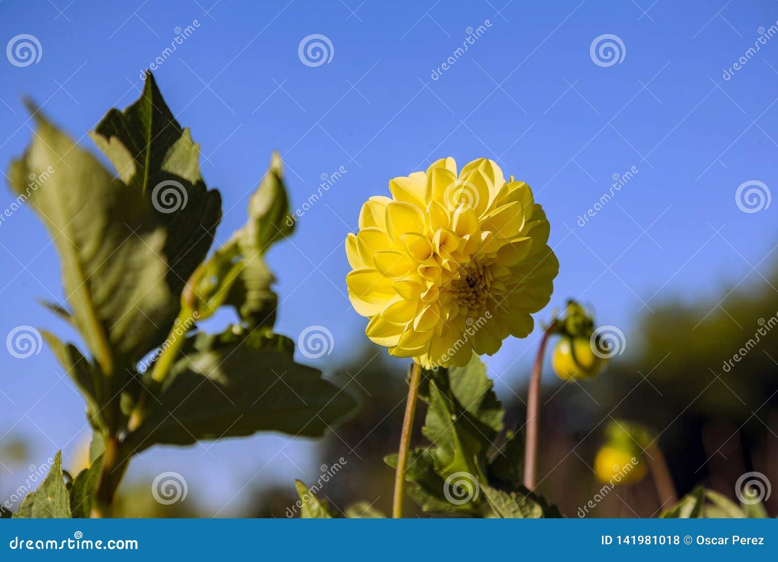 Цветок георгина, который выросли в диком поле