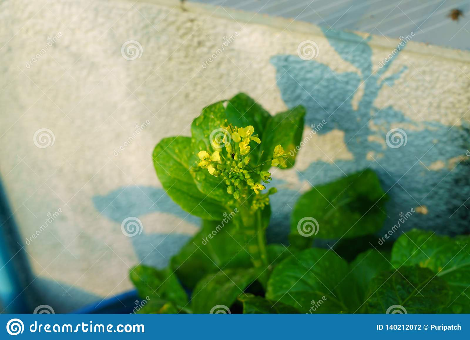 Цветок ложного Пак choi, китайской цветя капусты или капусты camprestris l Chinensis