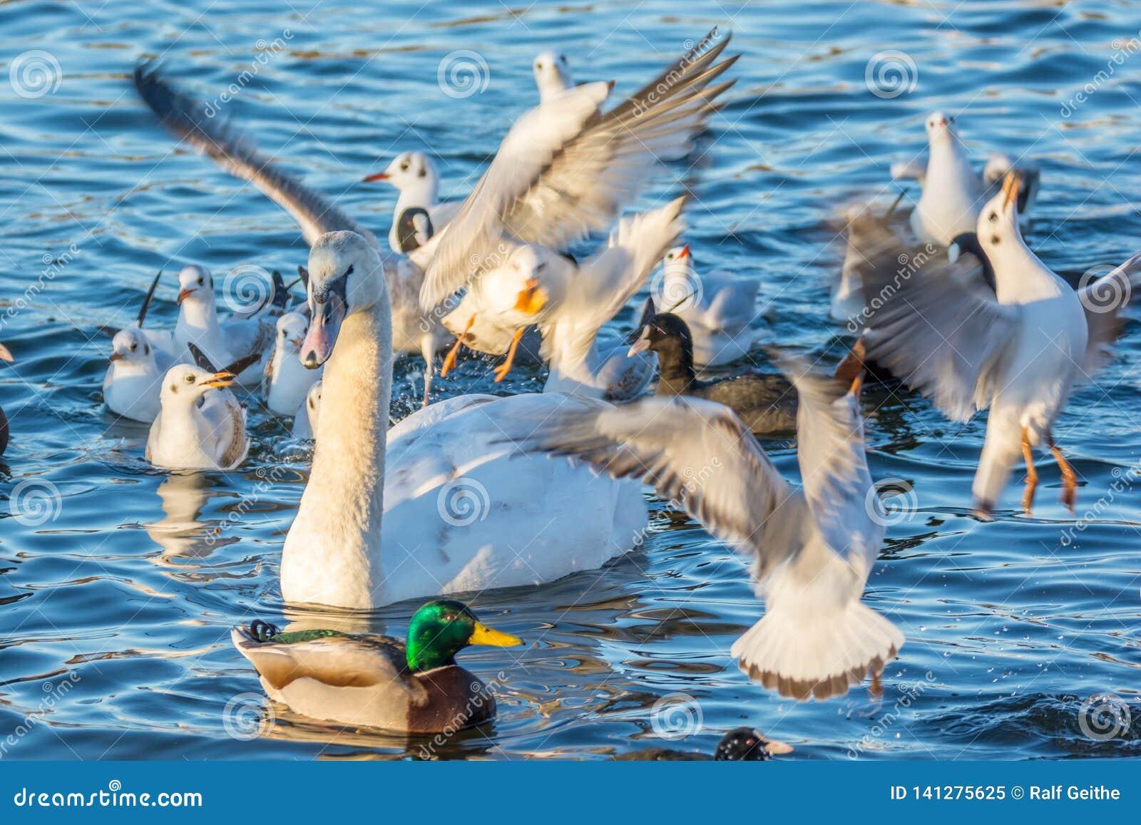 Чайки, утки и бой лебедя для мякишей хлеба на озере
