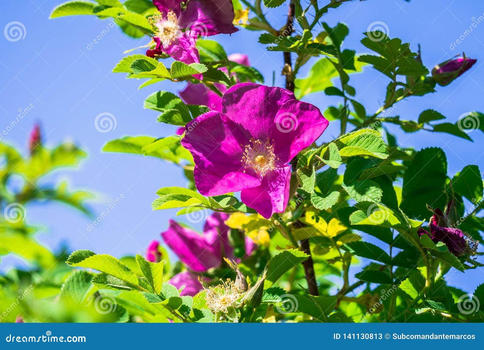 Часть сочного кустарника плода шиповника, богато обитая с розовыми цветками под золотым солнечным светом Влюбленность, счастье, w