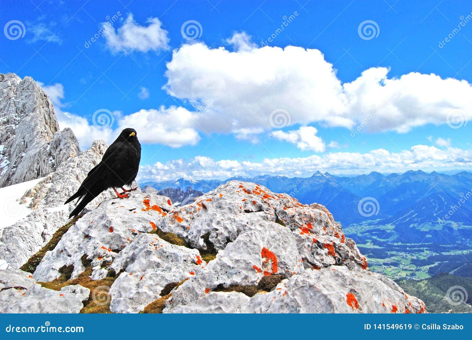 Черная птица поверх мира, красота природы, голубого высокогорного ландшафта, голубого неба, снега покрыла горные пики