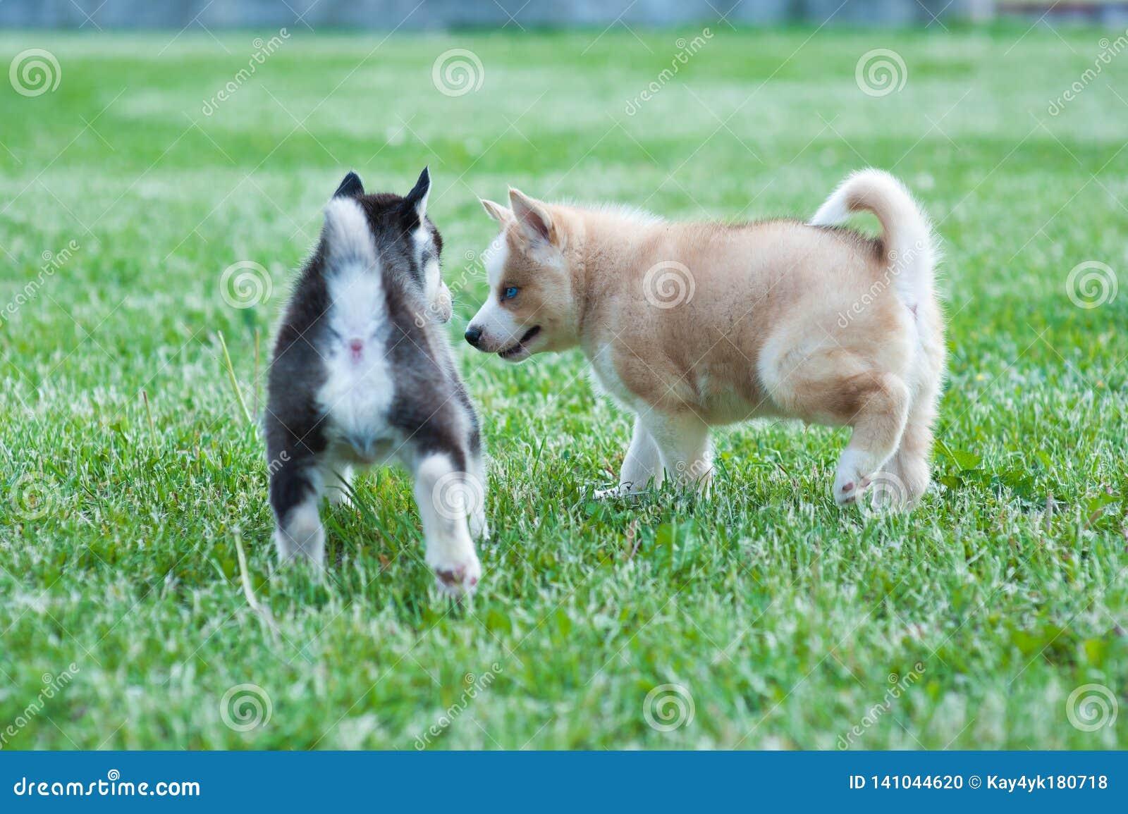Черный сиплый щенок и коричневый друг, собаки на траве