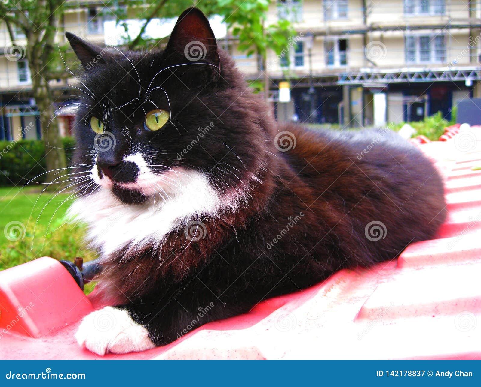 Черно-белый кот с желтыми глазами ослабляя на красном ящике в рынке Portobello в Notting Hill