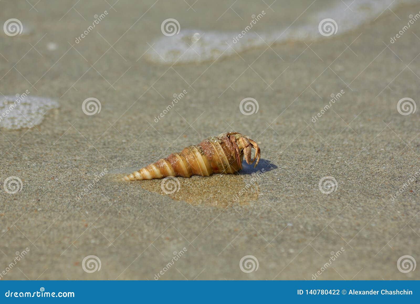 Раковина с крабом затворницы на песке