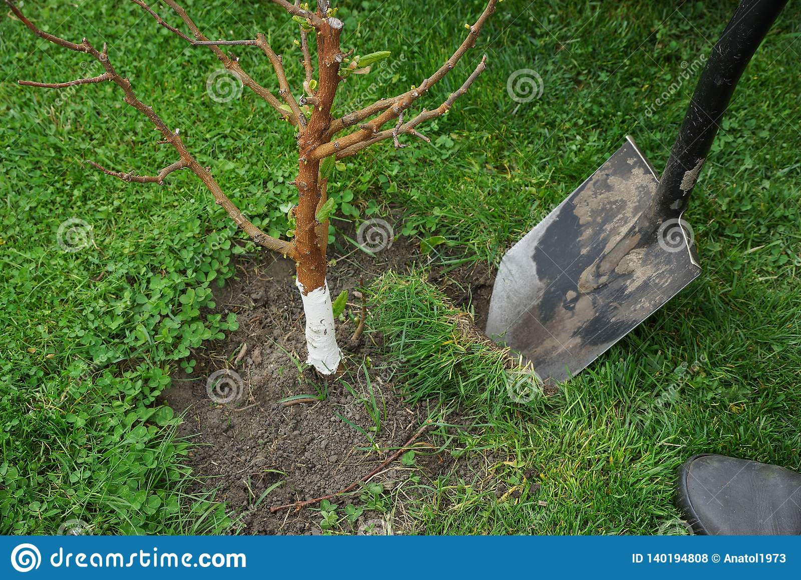 Раскопки лопаткоулавливателя в земле и зеленой траве деревом сада