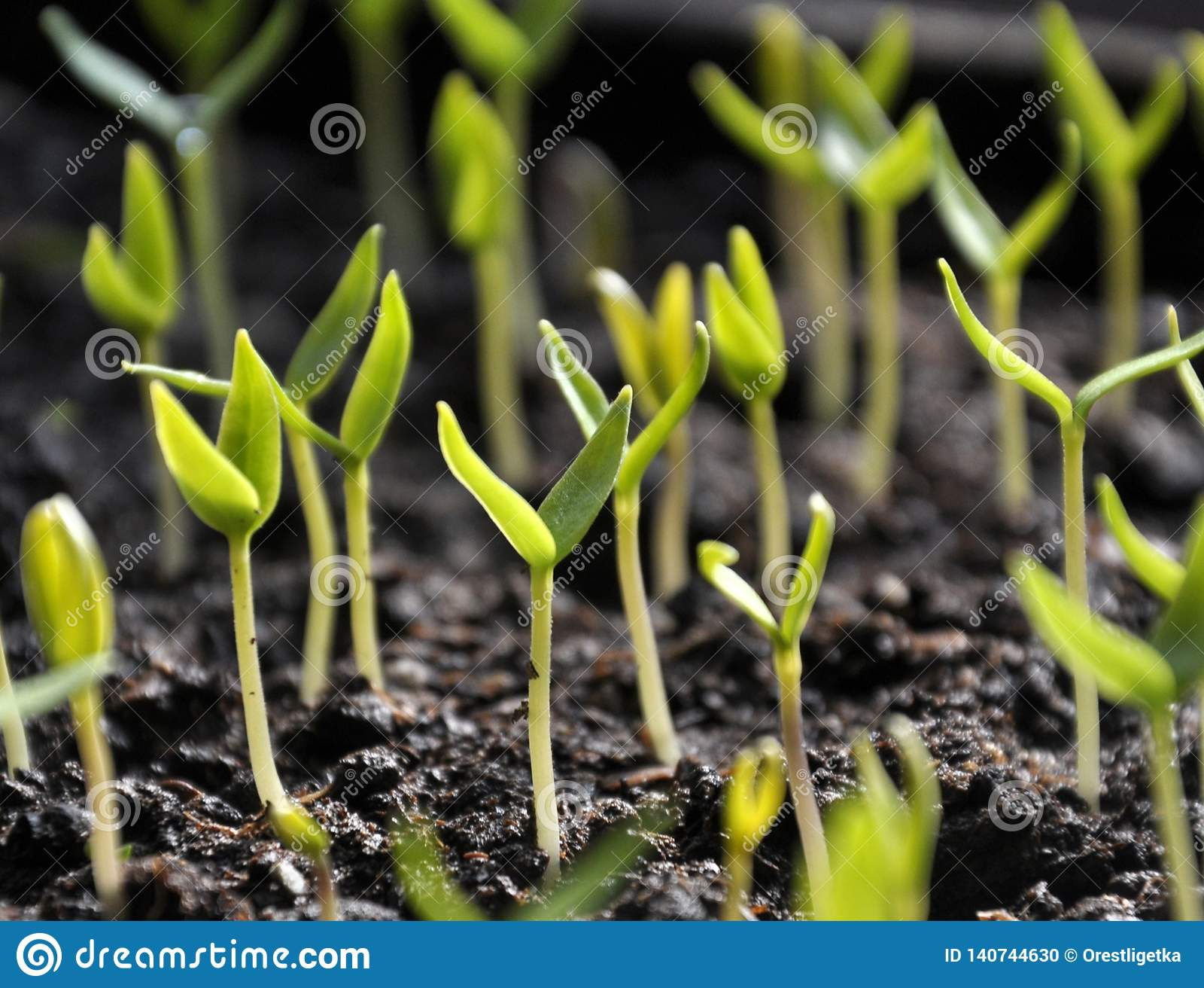 Растя перцы саженцев сладкие