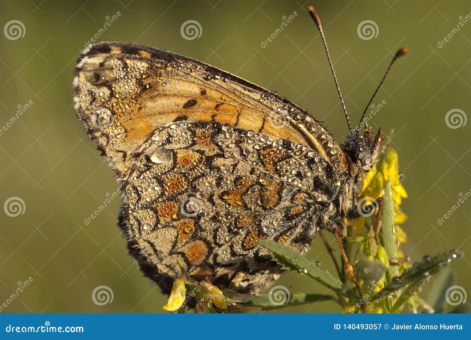 Рябчик вереска, бабочка athalia Melitaea