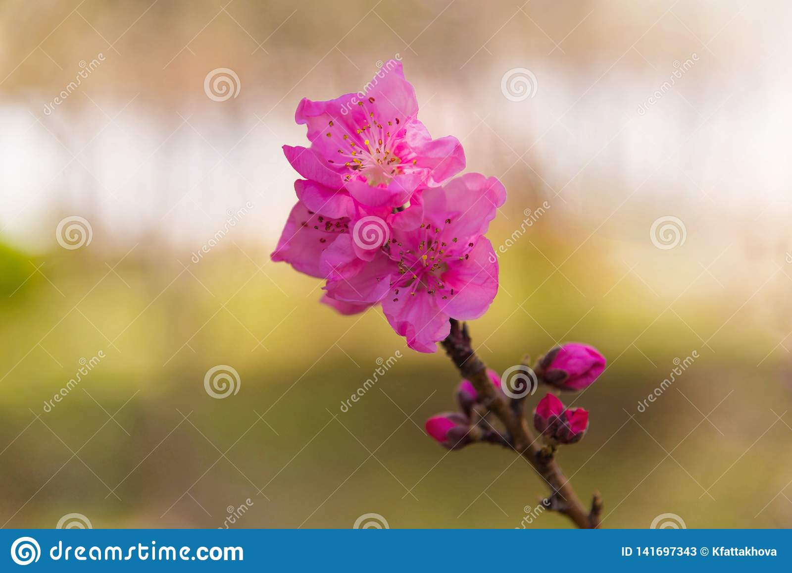 Розовый бутон цветения и цветка персикового дерева весной