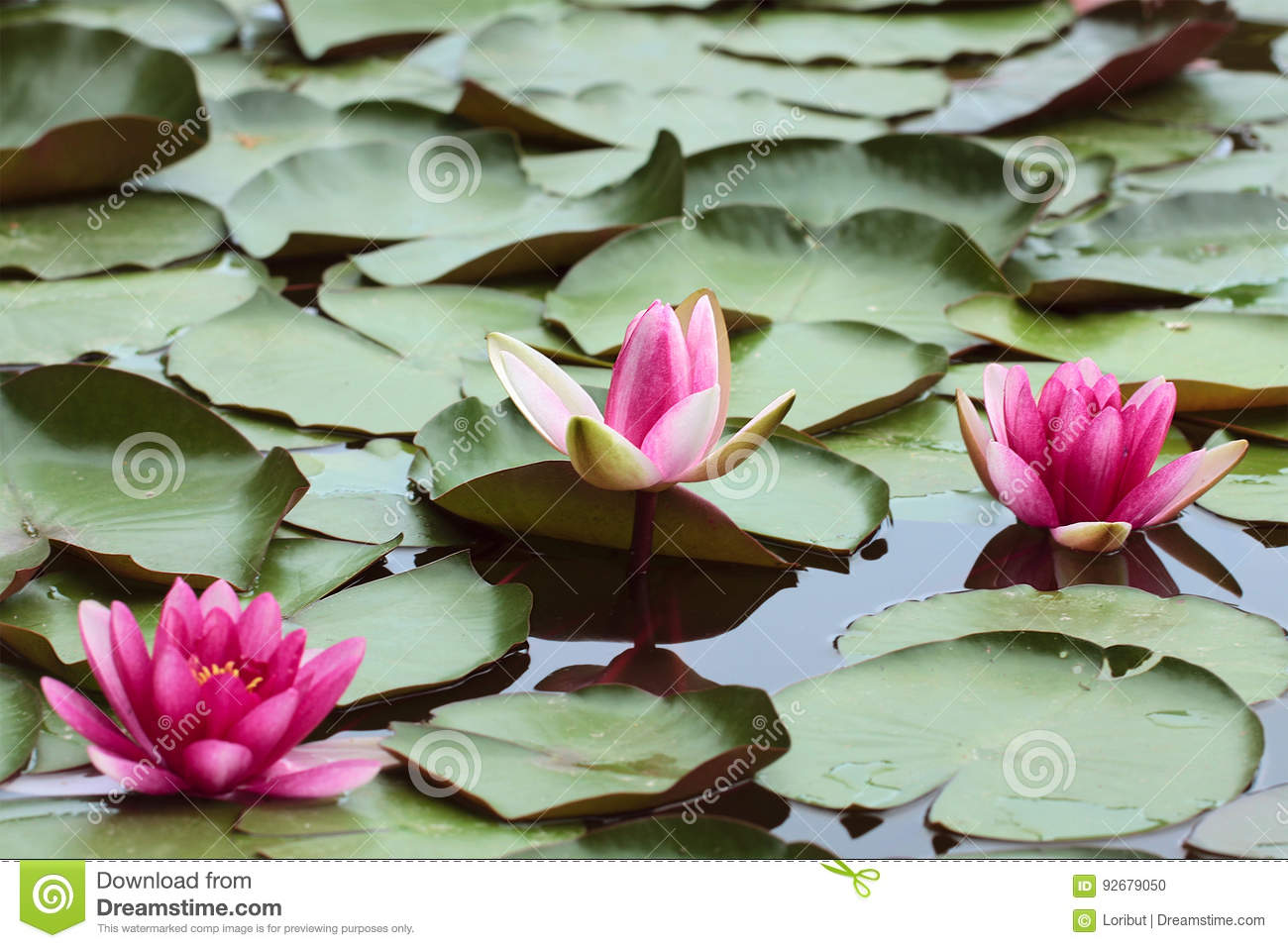 Ink flowers of water lilies and green round leaves of lilies stock download ink flowers of water lilies and green round leaves of lilies stock photo image izmirmasajfo