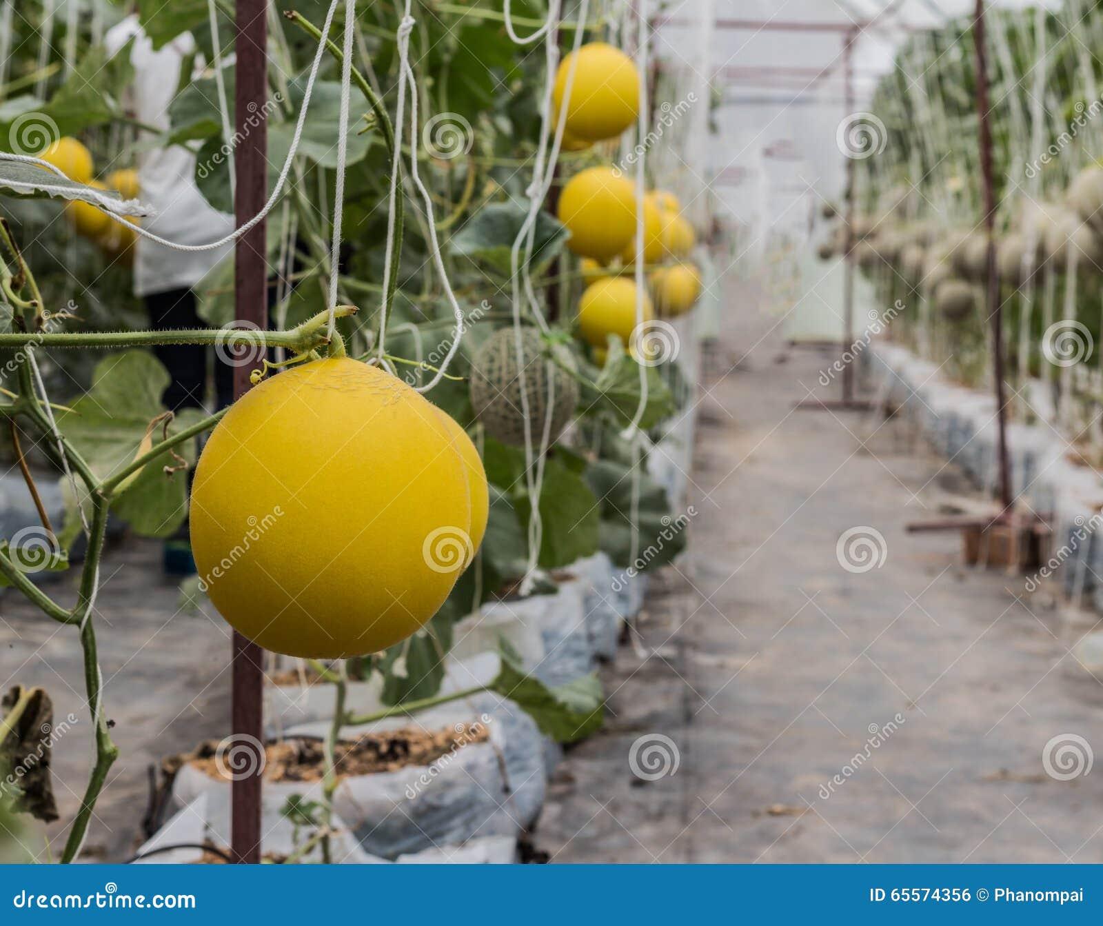 Żółci kantalupów melony r w szklarni