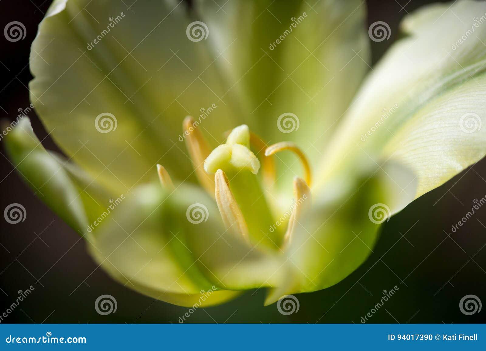 Żółci tulipany